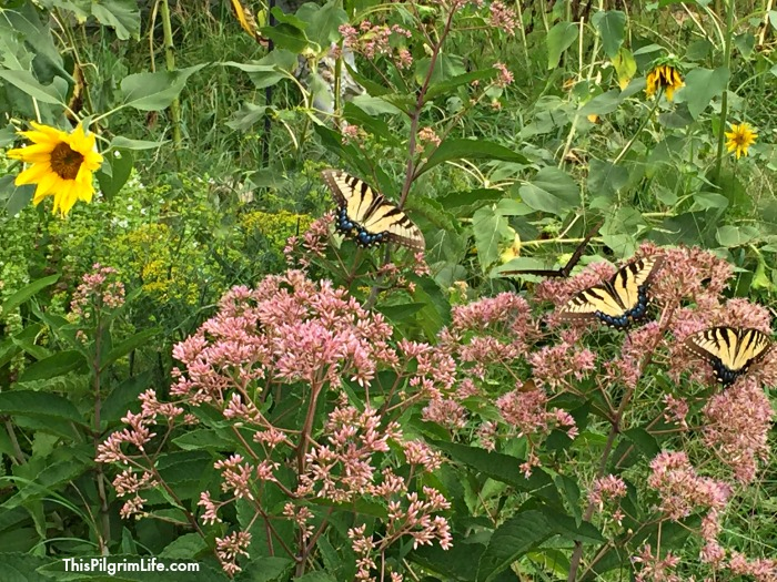 pollinator garden pic
